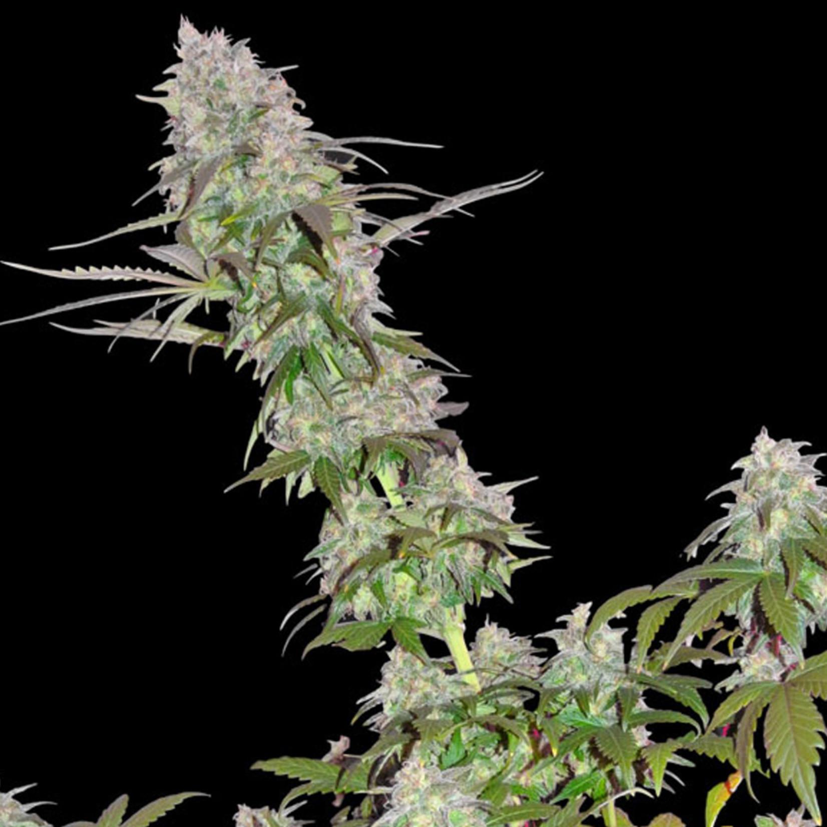 Green Mango Kush cannabis seeds