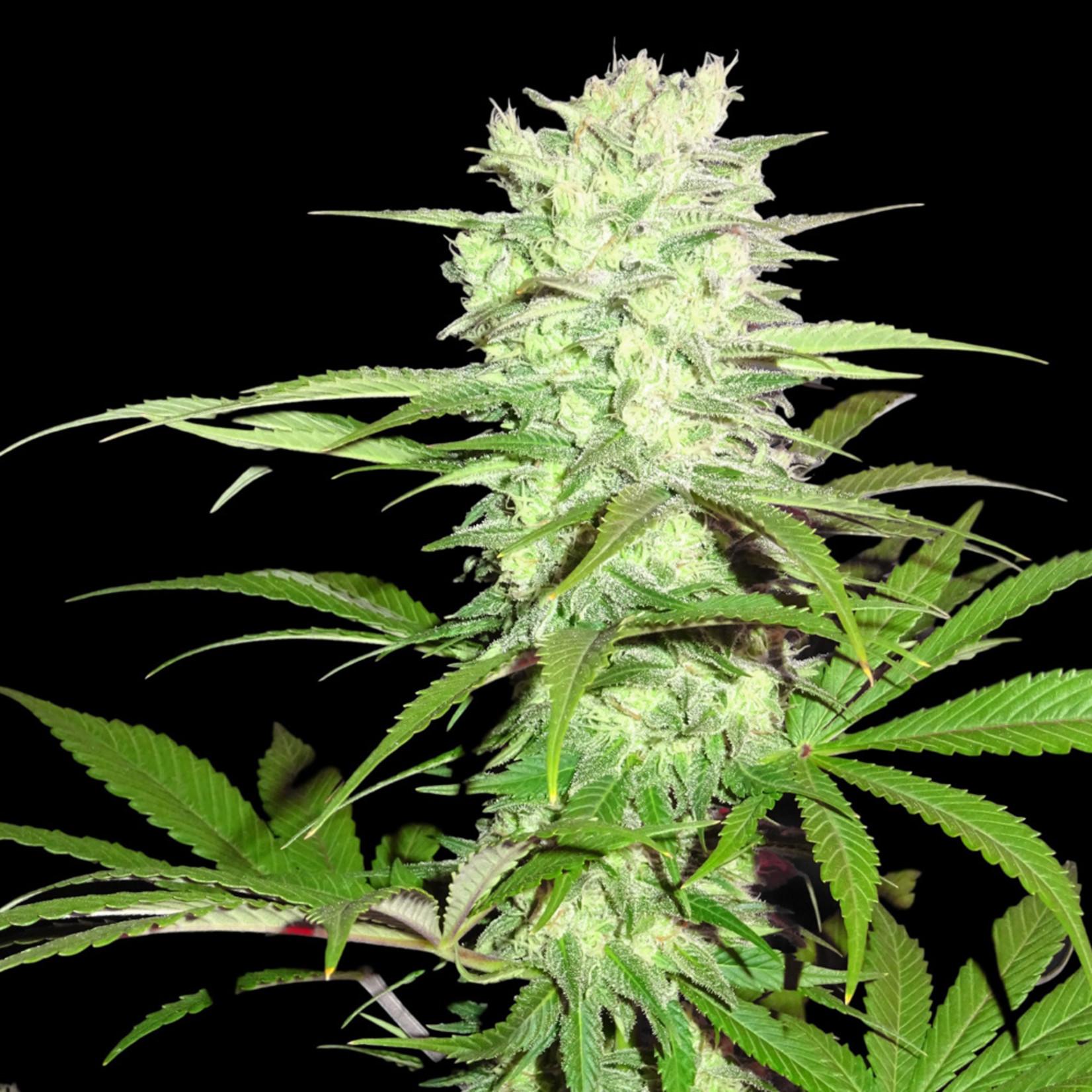 Thunderstruck cannabis seeds
