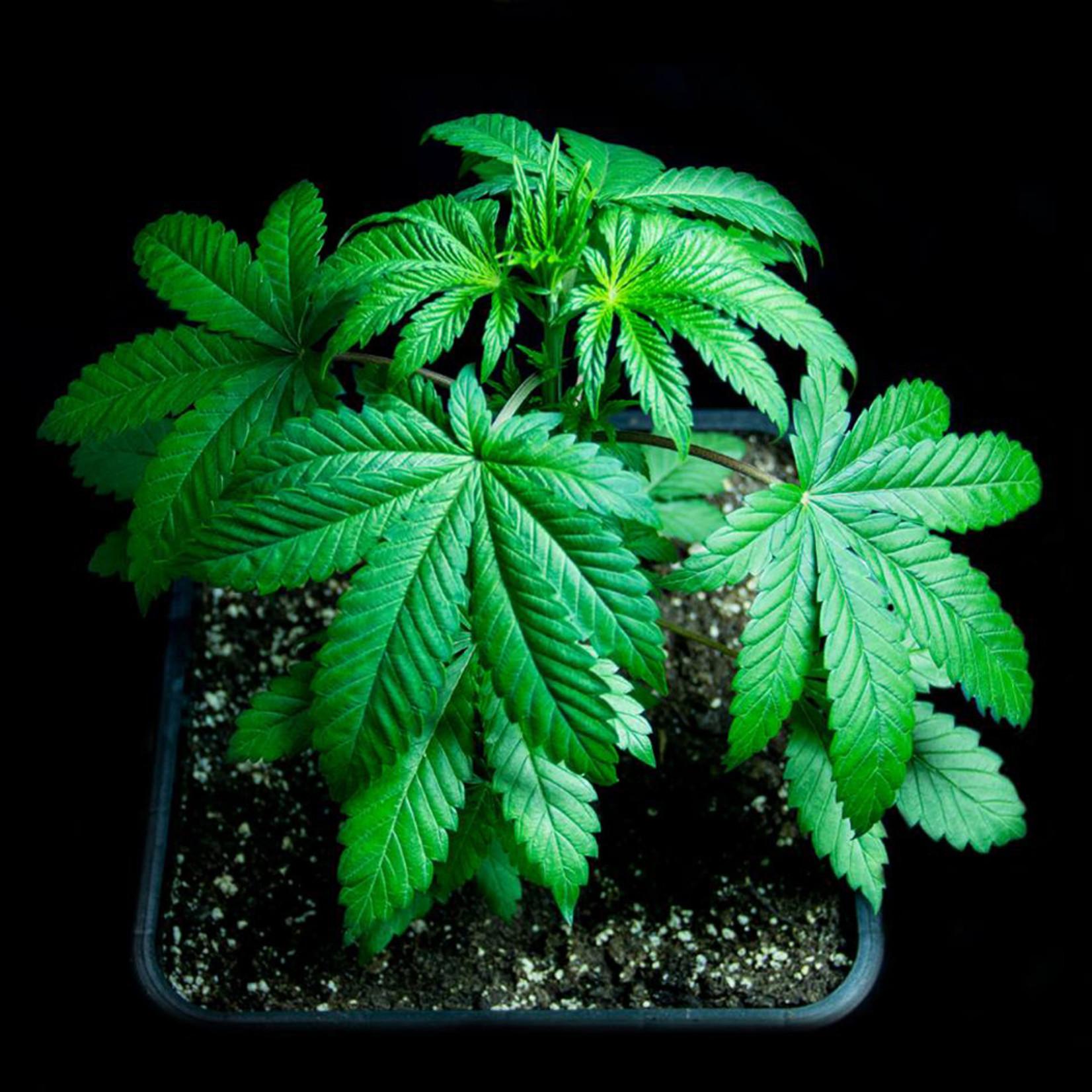 Sumo's OG Kush cannabis seeds