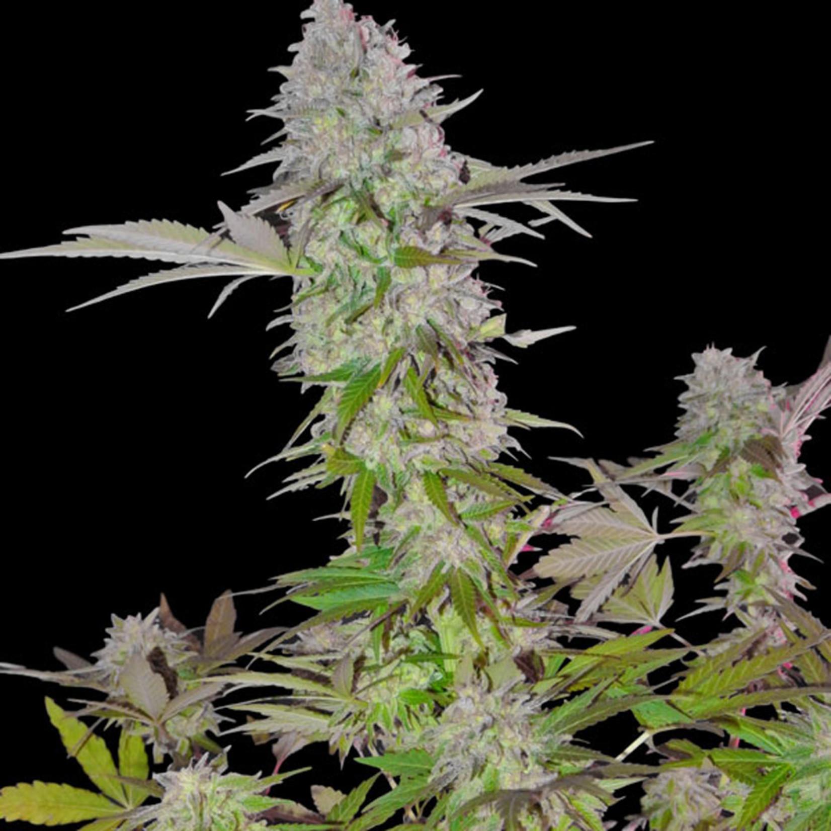 Sweet Harlem Diesel cannabis seeds