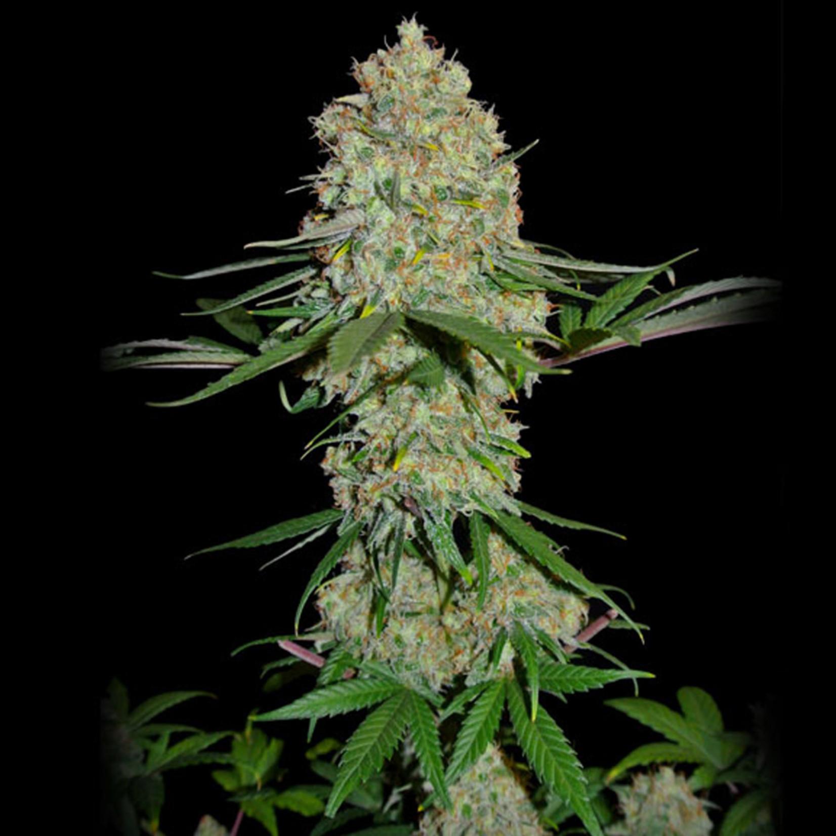 Silver Buddha Haze cannabis seeds