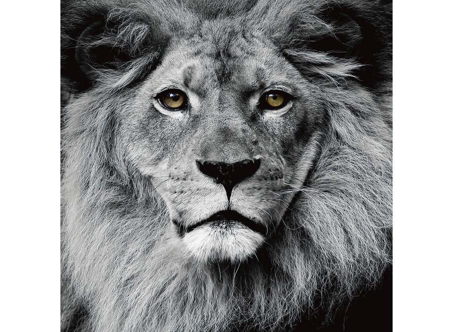 Fine Asianliving The Lion King Black White Digitalprint 80x80cm Safety Glass