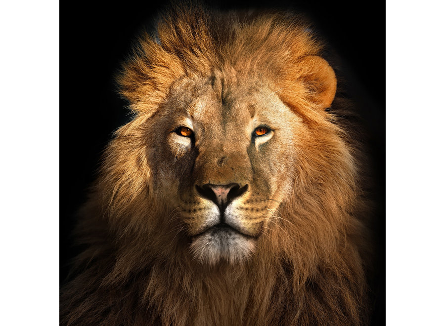 The Lion King Digitalprint 95x95cm Acrylic Glass