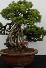 Bonsai Pin blanc du Japon, Pinus parviflora, no. 5894