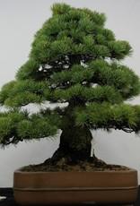 Bonsai Pinus parviflora, Japanse witte den, nr. 5895