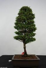 Bonsai Chamaecyparis sp. , Cipres, nr. 5898