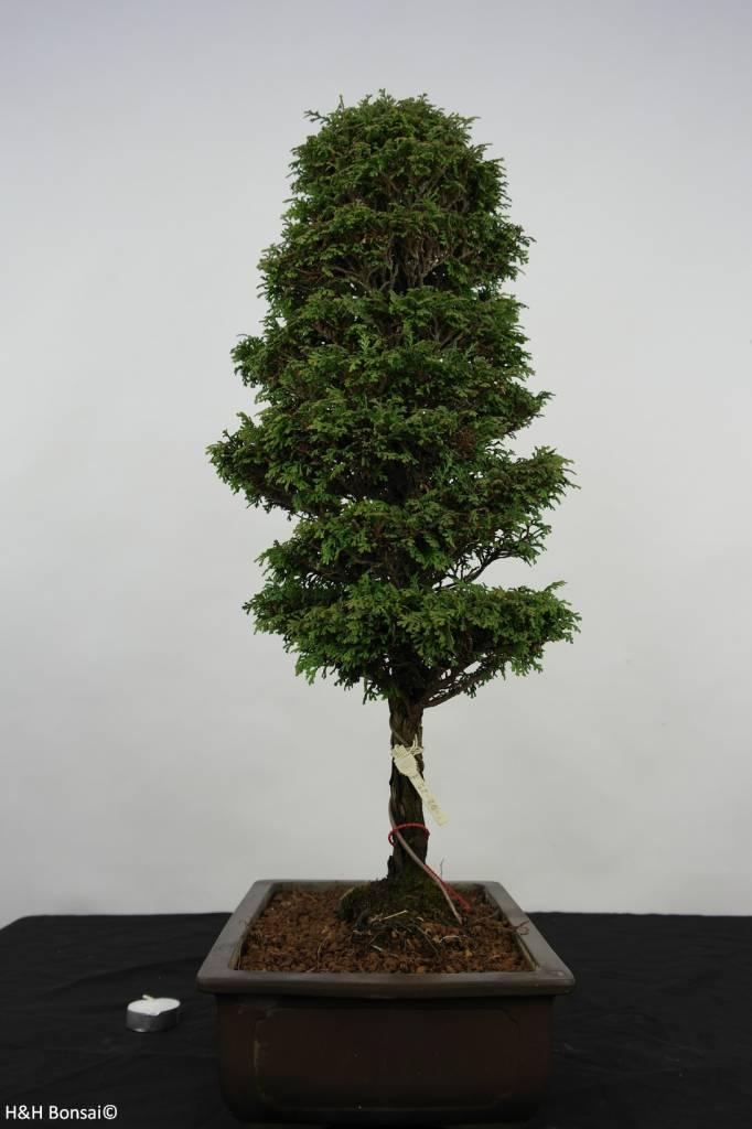 Bonsai Cyprès, Chamaecyparis sp. , no. 5898