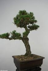 Bonsai Pinus thunbergii kotobuki, Japanse Zwarte den, nr. 5907