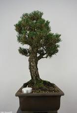 Bonsai Pin noir du Japon kotobuki, Pinus thunbergii kotobuki, no. 5908