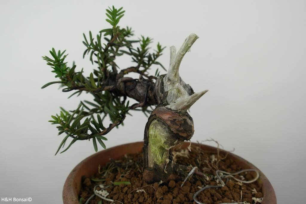 Bonsai Taxus cuspidata, Japanse venijnboom,nr. 6018
