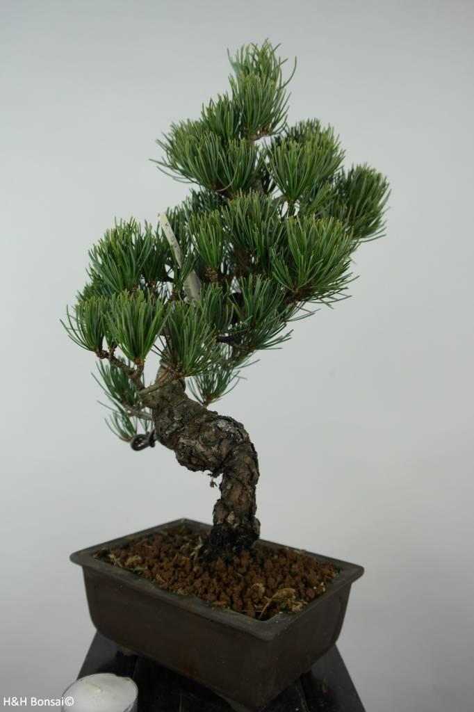 Bonsai Pinus parviflora, Japanse witte den, nr. 6044