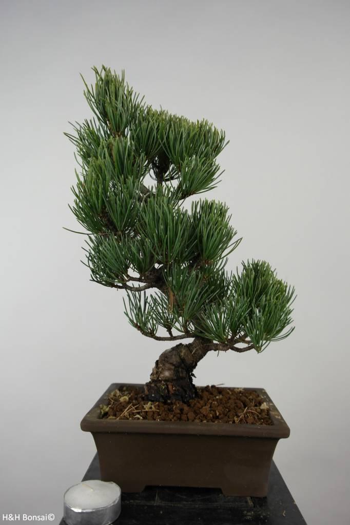 Bonsai Pin blanc du Japon, Pinus parviflora, no. 6054