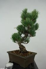 Bonsai Pinus parviflora, Japanse witte den, nr. 6054