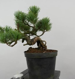 Bonsai Shohin Pinus parviflora,Japanse witte den, nr. 6090