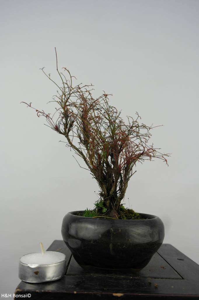Bonsai Shohin Nandina sp., nr. 6148