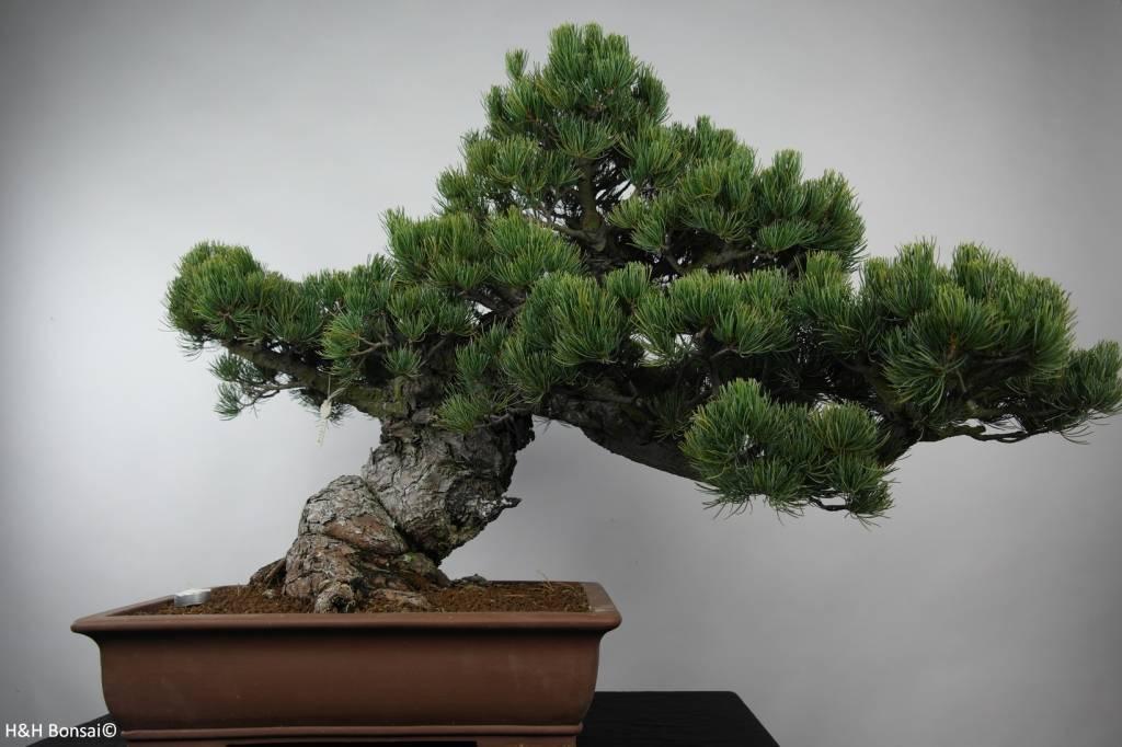 Bonsai Pinus parviflora, Japanse witte den, nr. 6178