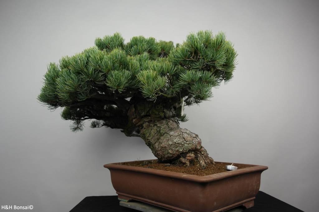 Bonsai Pin blanc du Japon, Pinus parviflora, no. 6178