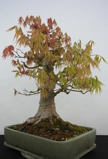 Bonsai L'Erable du Japon, Acer palmatum, no. 5805