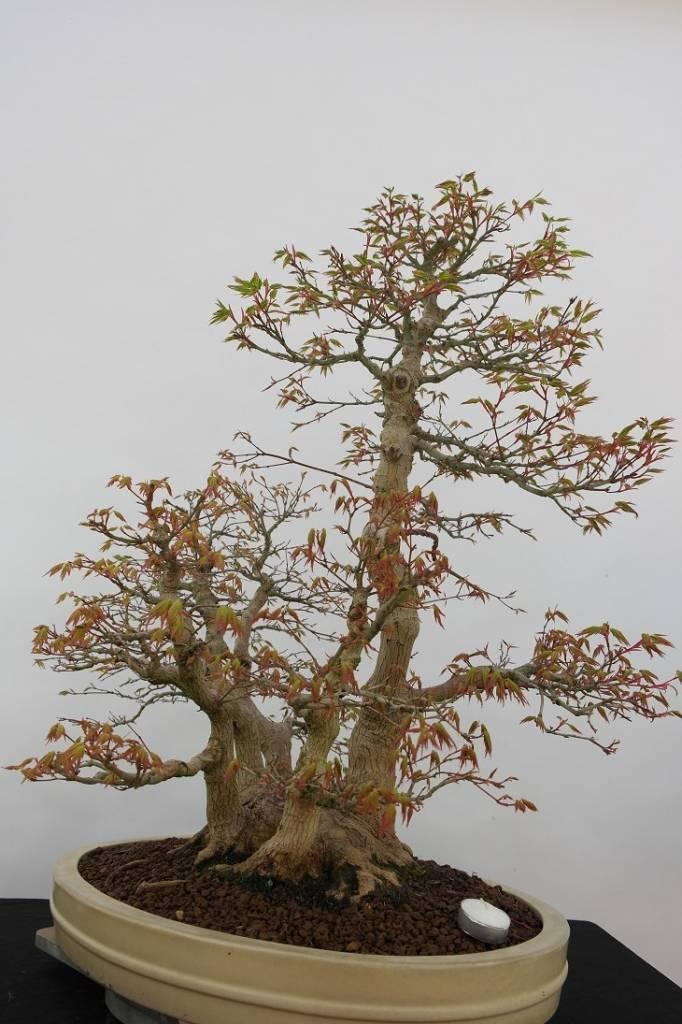 Bonsai Acer palmatum, Japanse esdoorn, nr. 5853
