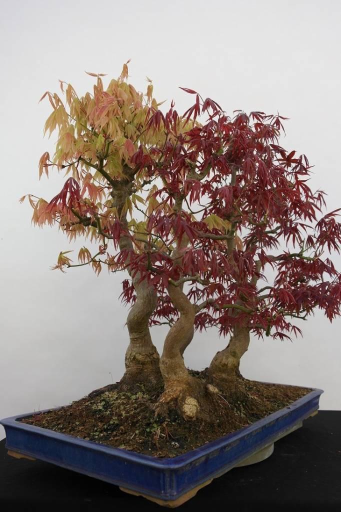 Bonsai L'Erable du Japon, Acer palmatum, no. 5850