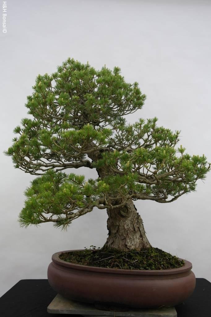 Bonsai Pin blanc du Japon zuisho, Pinus parviflora zuisho, no. 5259