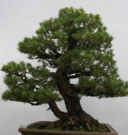 Bonsai Pin blanc du Japon kokonoe, Pinus parviflora kokonoe, no. 5297