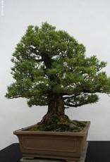 Bonsai Pinus parviflora kokonoe, Japanse witte den, nr. 5297