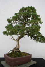 Bonsai Juniperus chinensis itoigawa, Jeneverbes, nr. 5176