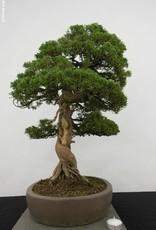 Bonsai Juniperus chinensis itoigawa, Jeneverbes, nr. 5122