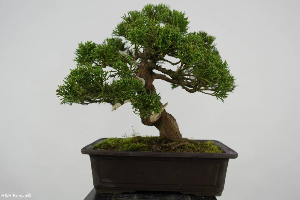 Bonsai Genévier de Chine, Juniperus chinensis, no. 5541