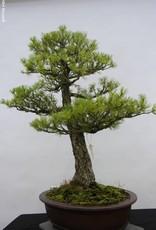 Bonsai Pinus parviflora, Japanse witte den, nr. 5303