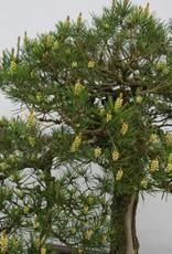 Bonsai Pinus thunbergii, Japanse Zwarte den, nr. 5167