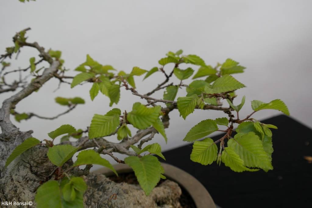Bonsai Charme de corée, Carpinus coreana, no. 5891