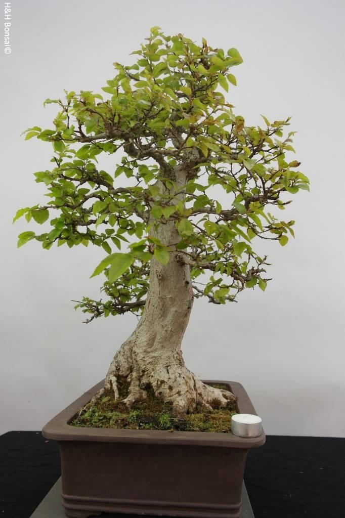 Bonsai Carpinus coreana, Koreaanse Haagbeuk, nr. 5886