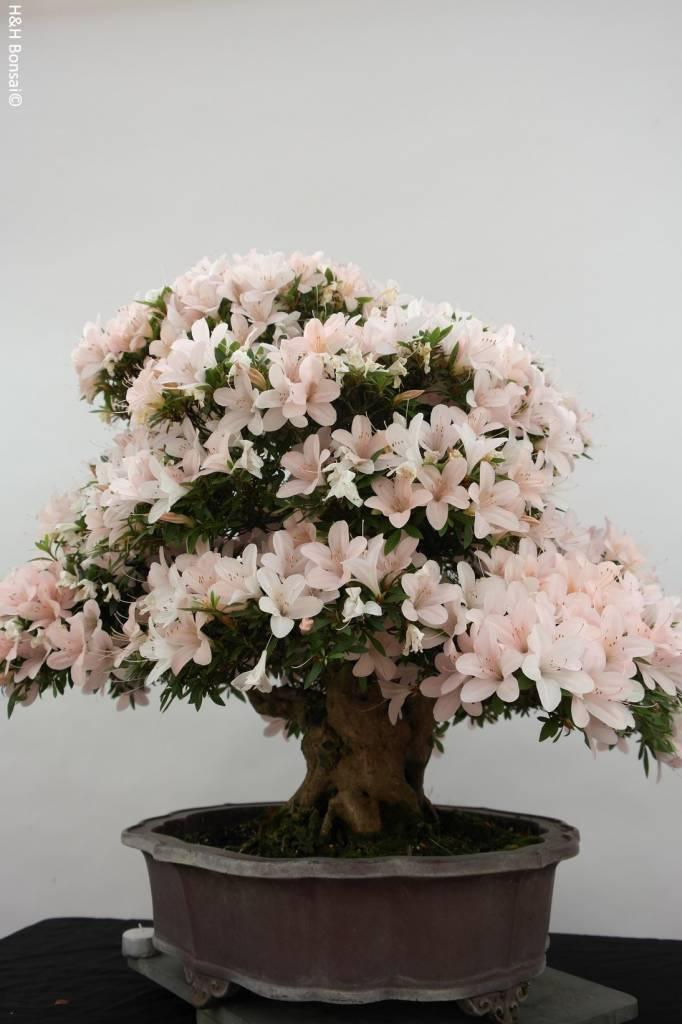 Bonsai Azalea SatsukiKozan, nr. 5700