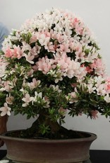 Bonsai Azalea Satsuki Nikko, nr. 5296