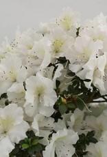 Bonsai Azalée du Japon, Azalea SatsukiKaho, no. 5703