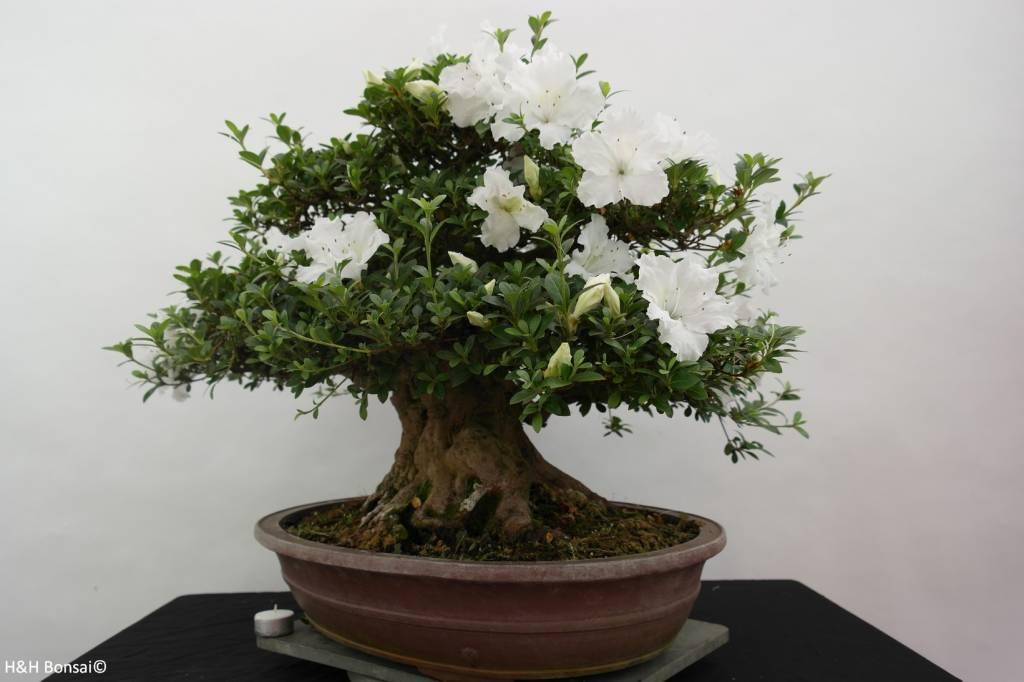 Bonsai Azalea Satsuki Eikan, nr. 5879