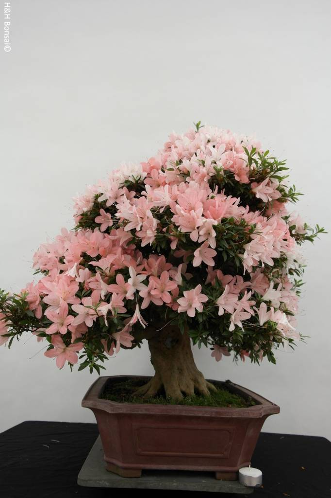 Bonsai Azalée du Japon, Azalea Satsuki, no. 5679