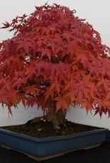 Bonsai L'Erable du Japon, Acer palmatum, no. 5509