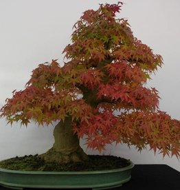 Bonsai L'Erable du Japon, Acer palmatum, no. 5508