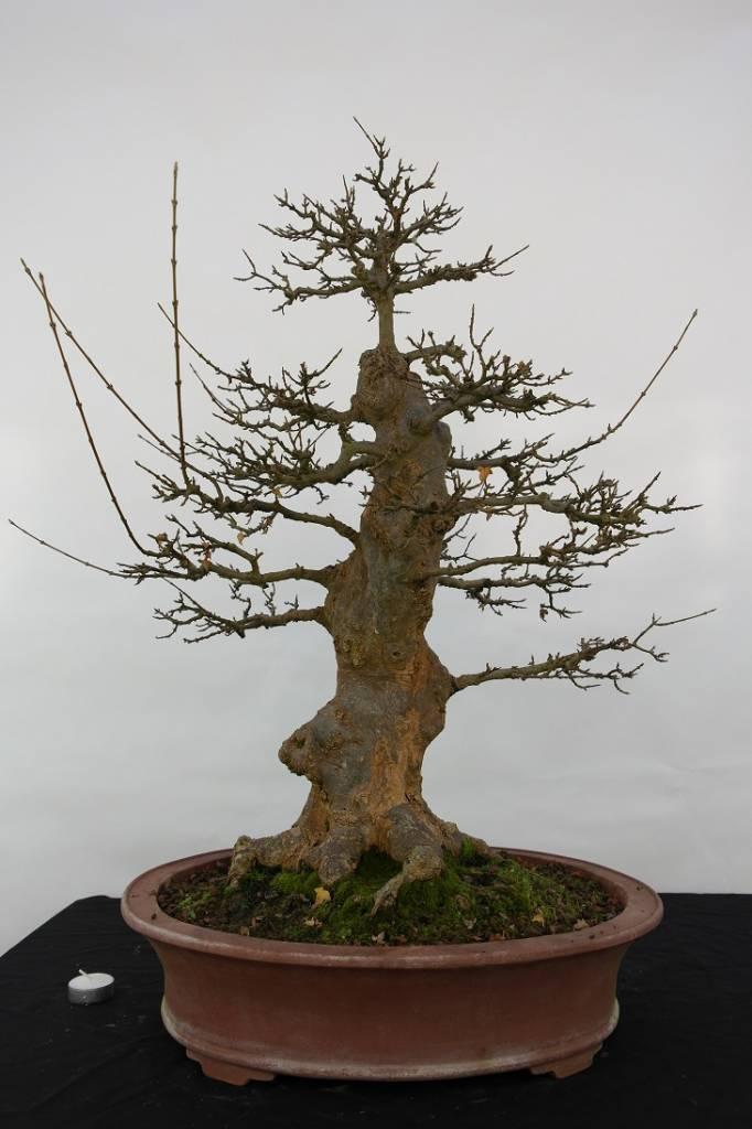 Bonsai Acer buergerianum, Drietands esdoorn, nr. 5184