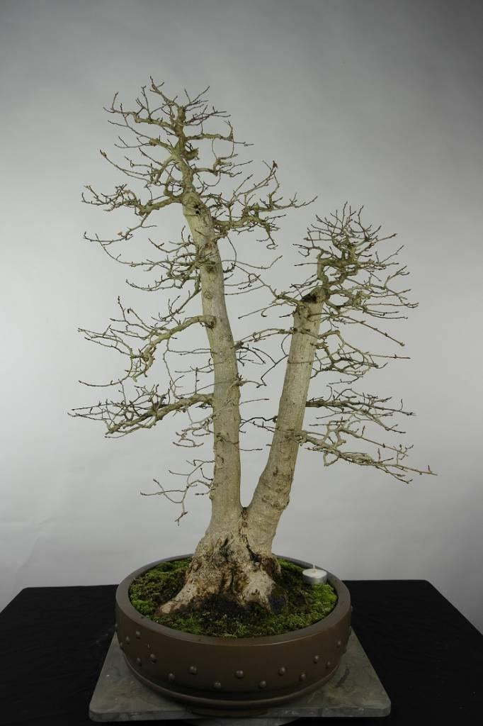 Bonsai Charme de corée, Carpinus coreana, no. 5139