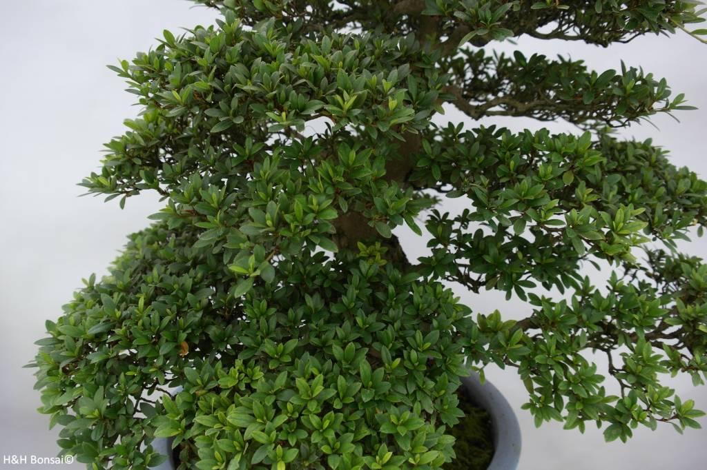 Bonsai Azalea SatsukiJuko, nr. 5707