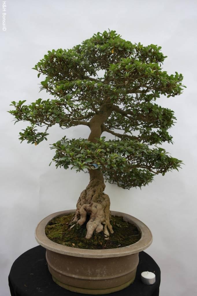 Bonsai Azalea Satsuki, nr. 5192