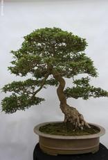 Bonsai Azalée du Japon, Azalea Satsuki, no. 5192