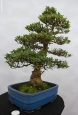 Bonsai Azalea Satsuki Juko no Homare, nr. 5242