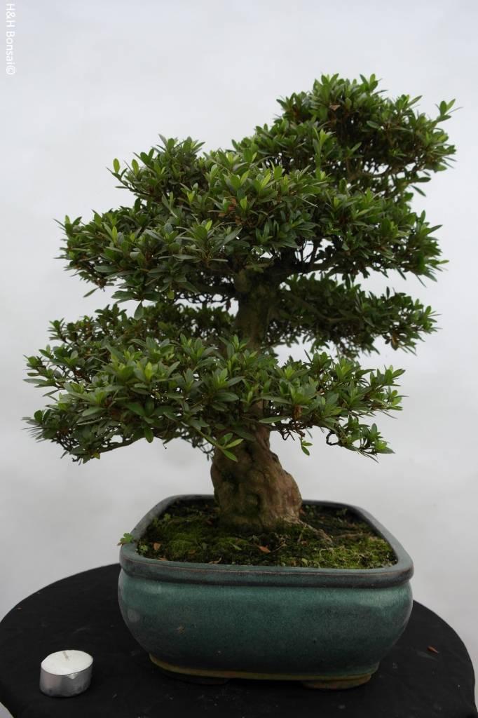 Bonsai Azalea SatsukiJuko no Homare, nr. 5687