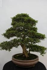Bonsai Azalée du Japon, Azalea Satsuki Akane, no. 5187