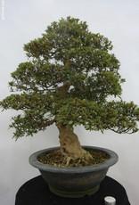 Bonsai Azalée du Japon, Azalea Satsuki Nyohozan, no. 5203